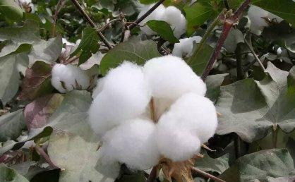 棉纤维那些你不知道的细节